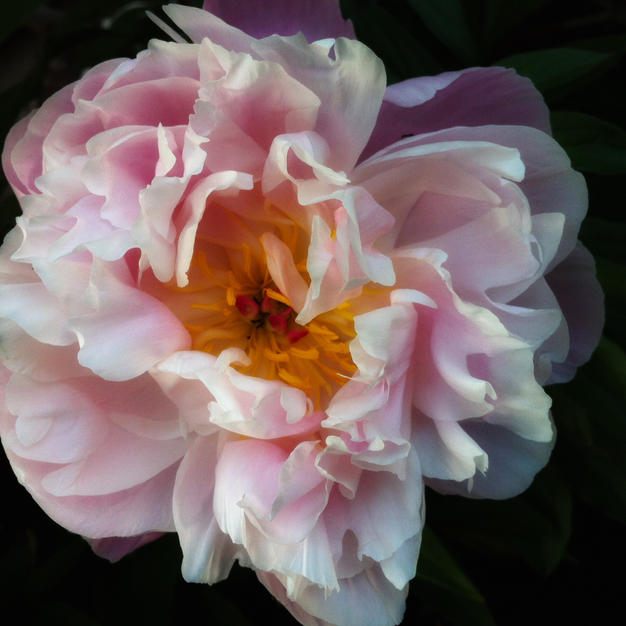 """Pink Bloom by Michael Craft Photograph on Canvas 8"""" x 8"""" (unframed)"""