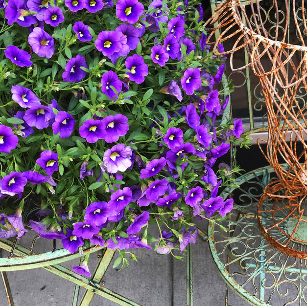 "Antiques & Violets by Sol Fischler Photograph 12"" x 16"" (framed)"