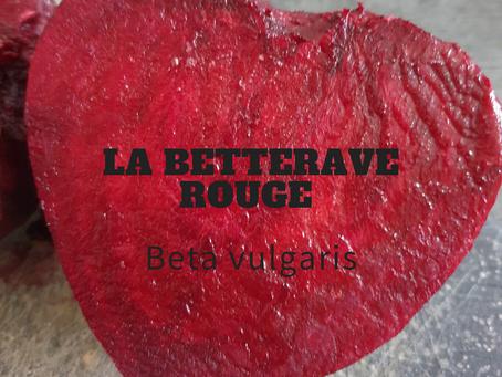 La Betterave rouge  Beta vulgaris