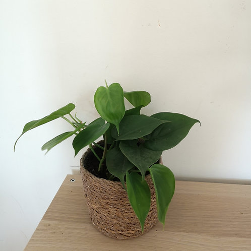 Philodendron Scandens or 'sweetheart' plant