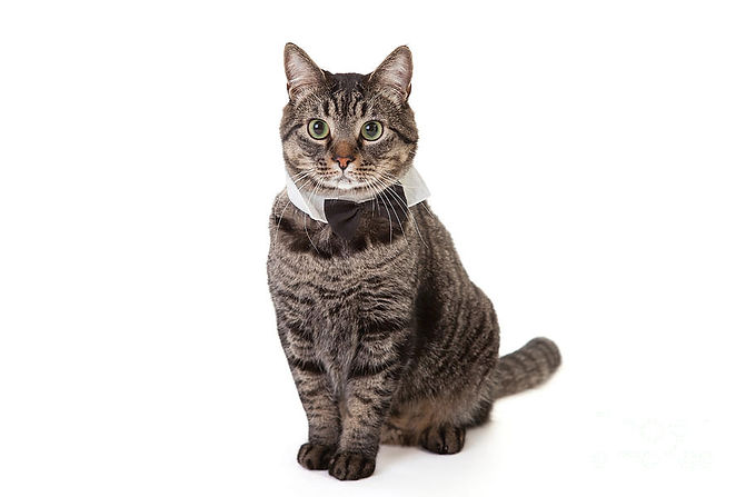 cat-wearing-bowtie-leslie-banks.jpeg