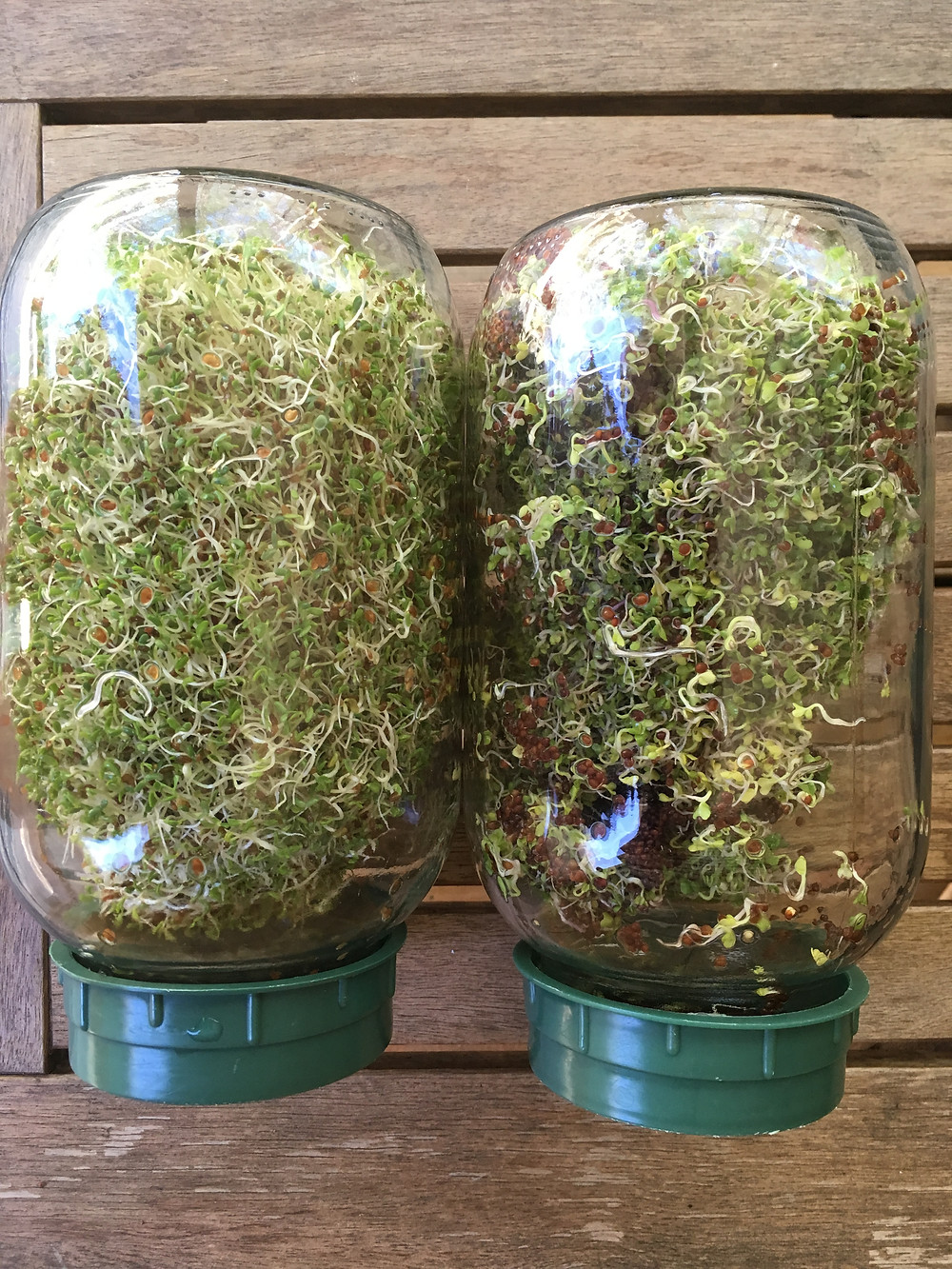 Alfalfa and broccoli sprouts