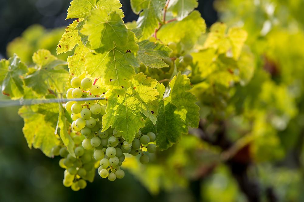 Kerner grapes