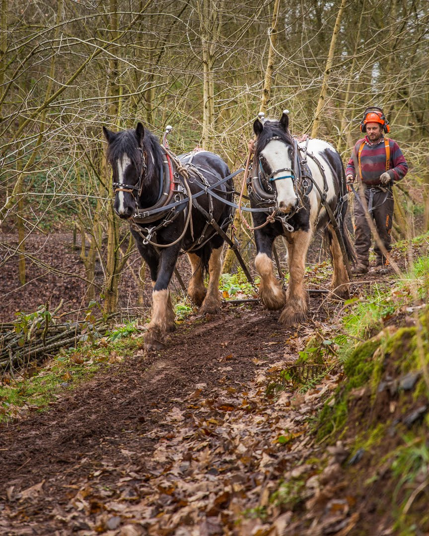 Horse logging in our woodland