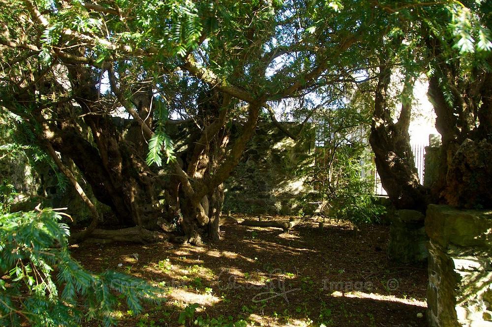 Fun Fact 5 - Oldest Tree