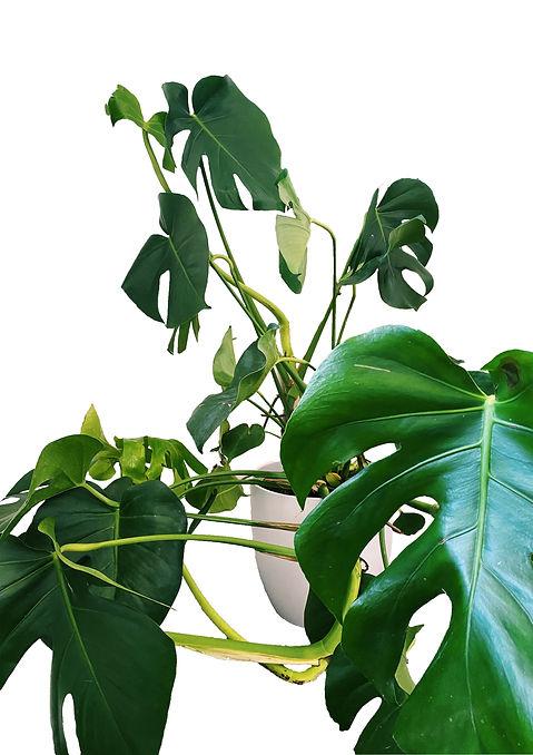Prickle Emporium Monstera