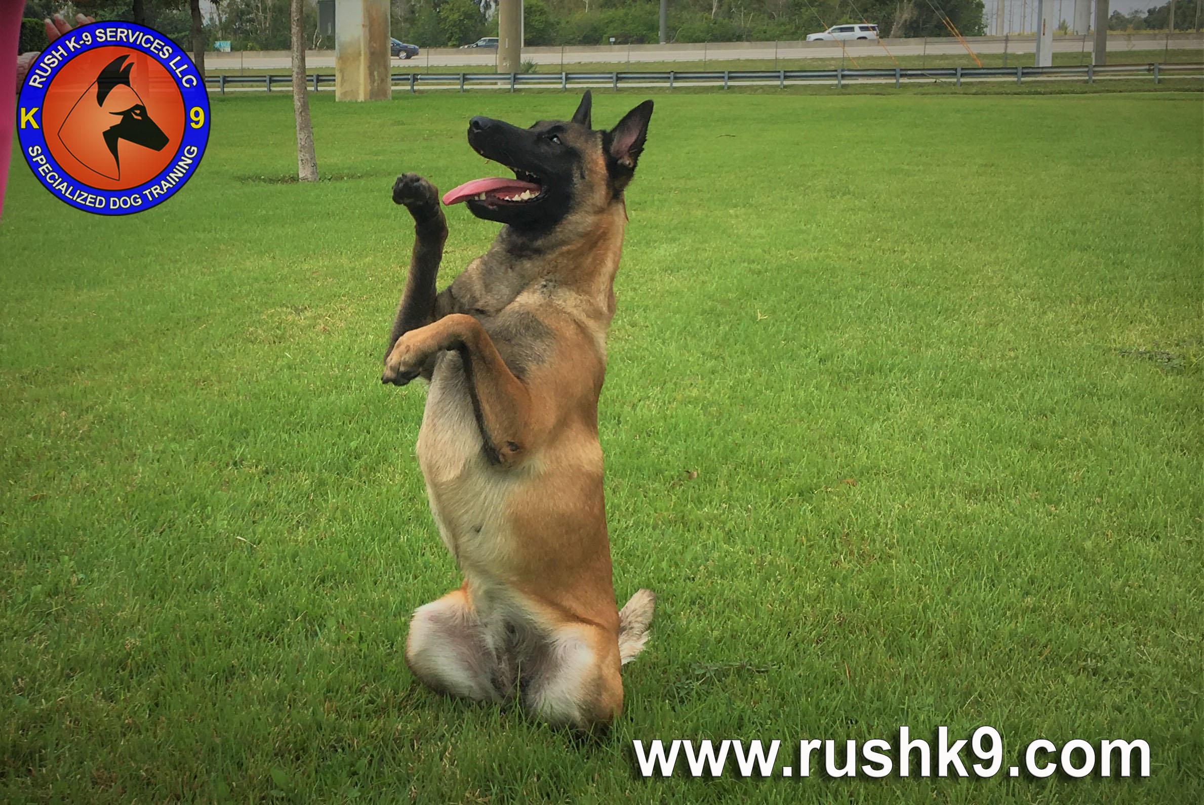 rush k9 services (33)