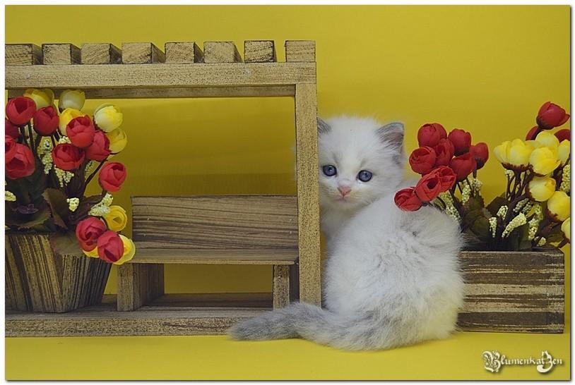 Blumenkatzen Hermione