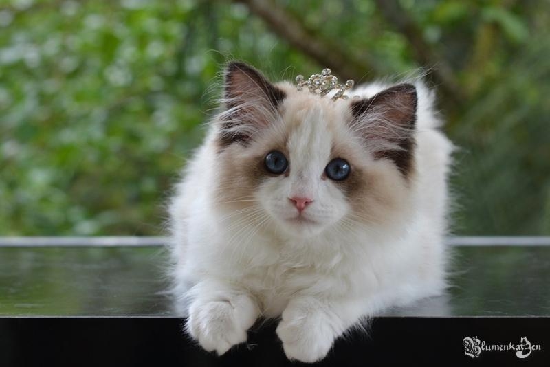Blumenkatzen Princesa Aurora
