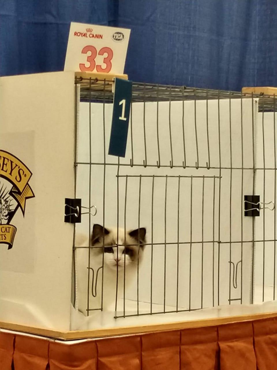 1º lugar, Best of Best Ragdoll Kitte