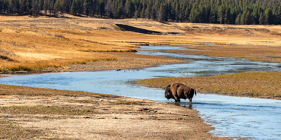 Bison at Yellowstone r-1333.jpg