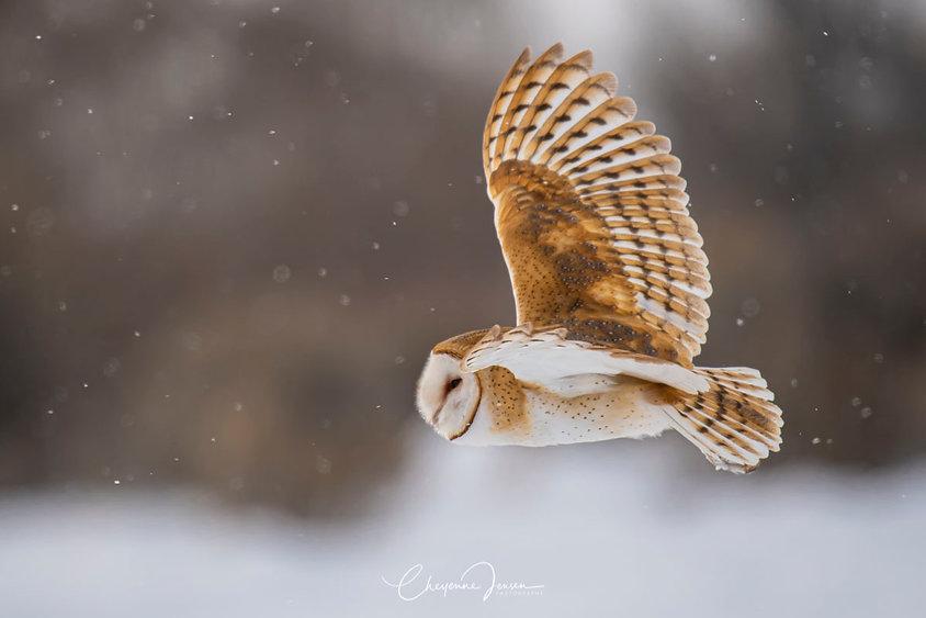 Barn owl winter-1344.jpg