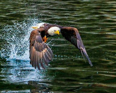 eaglebaldfishing6464_8x10.jpg
