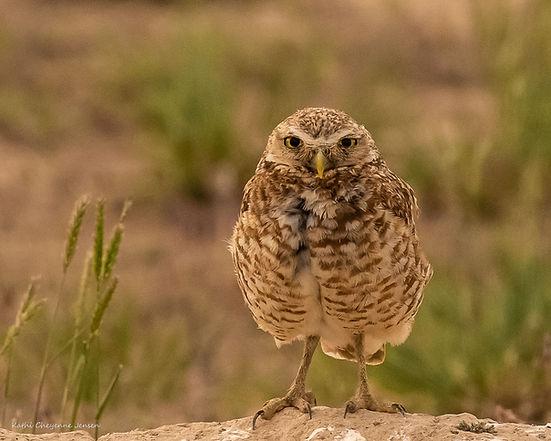 burrowing owl-1186.jpg
