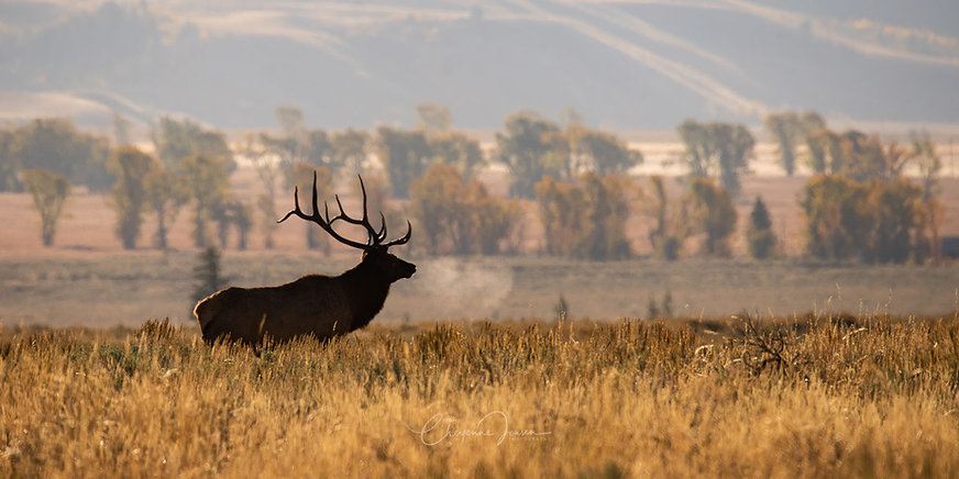 Elk in morning light GTNP-1551.jpg
