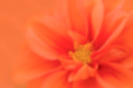 1111-OrangeDahliaUpClose_1701.jpg