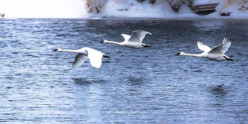 Swans on River-1182.jpg