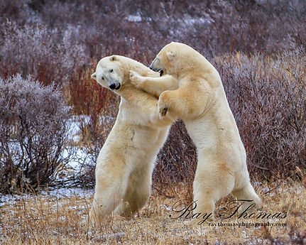 Polarbears4391.jpg
