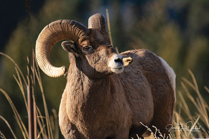 BIG HORN SHEEP_9084.jpg