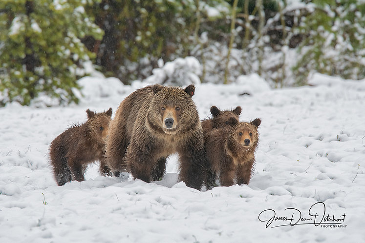 GRIZLY SOW 610 AND CUBS 9029.jpg