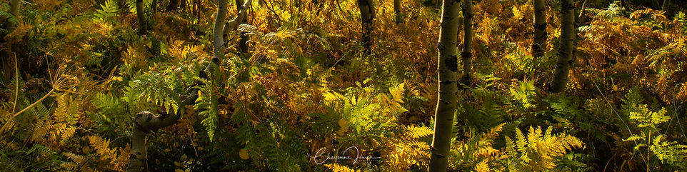 Alpine ferns The Glen pano-2489.jpg