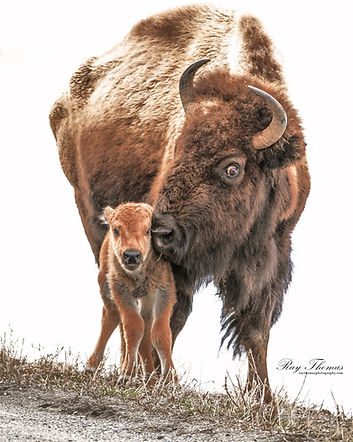 bisonmomcalf5065.jpg
