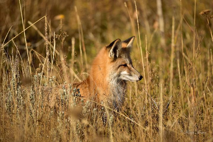 Fox   4x6  s wm -2529  10-14-15.jpg