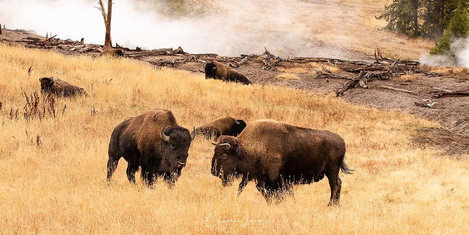 Bison at hot springs-2469.jpg