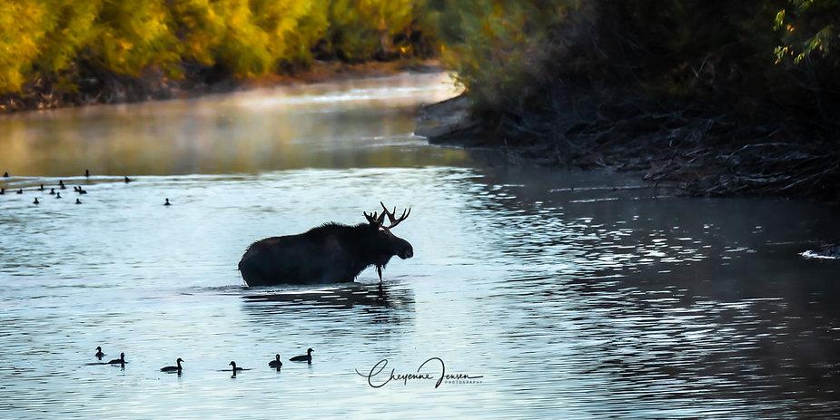 Moose crossing in Autumn-0293.jpg