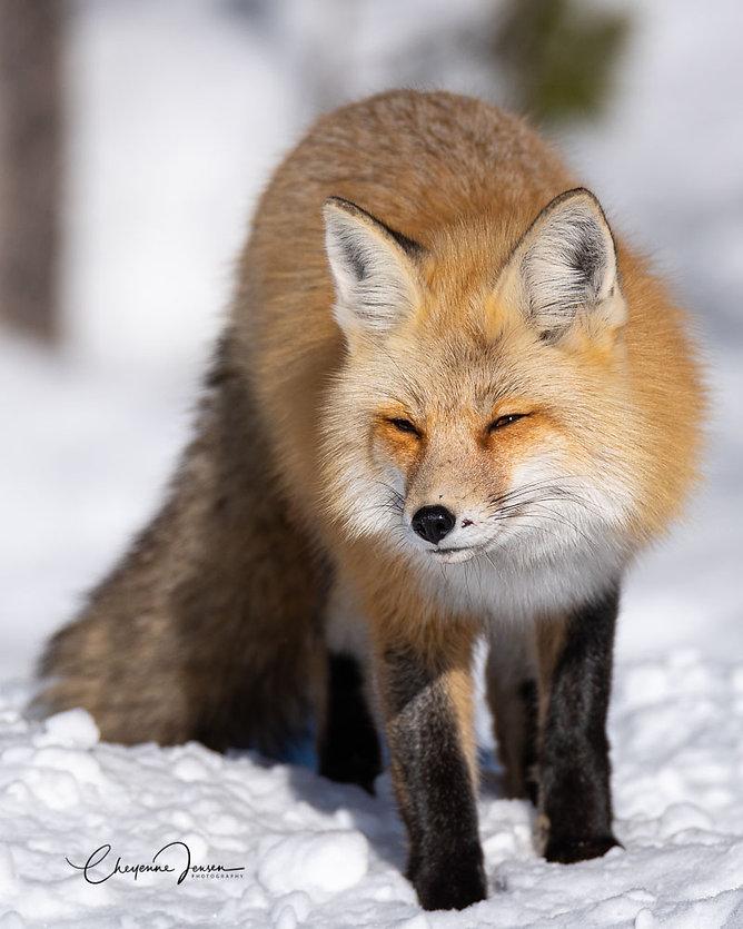 Red Fox-4785.jpg
