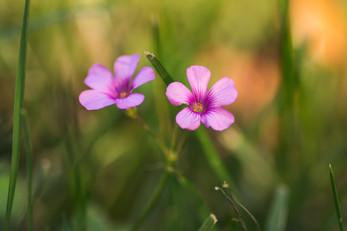 pink wildflowers.jpg