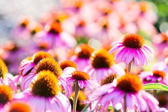 echinacea garden.jpg