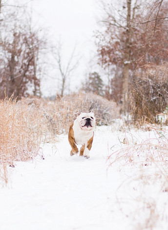 Raleigh's First Snow Fall in 2017 + Funny Bulldog Photos!