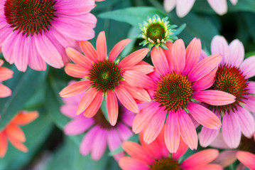 pretty shades of pink petals.jpg