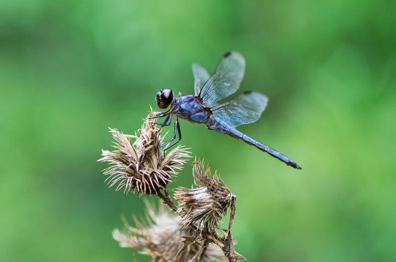 the blue dragon fly.jpg