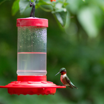 Homemade Hummingbird Nectar Recipe Video - 2 Ingredients!