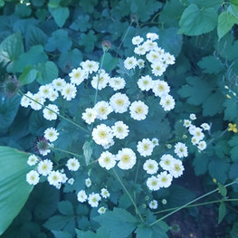 floweringweed.jpg