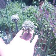 onion flower.jpg