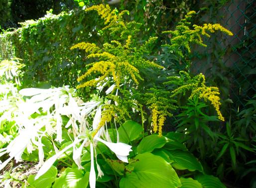 GOLDENROD - for allergies, bladder, kidney. How to use this abundant plant!