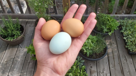HOW TO PICK THE HEALTHIEST EGGS!