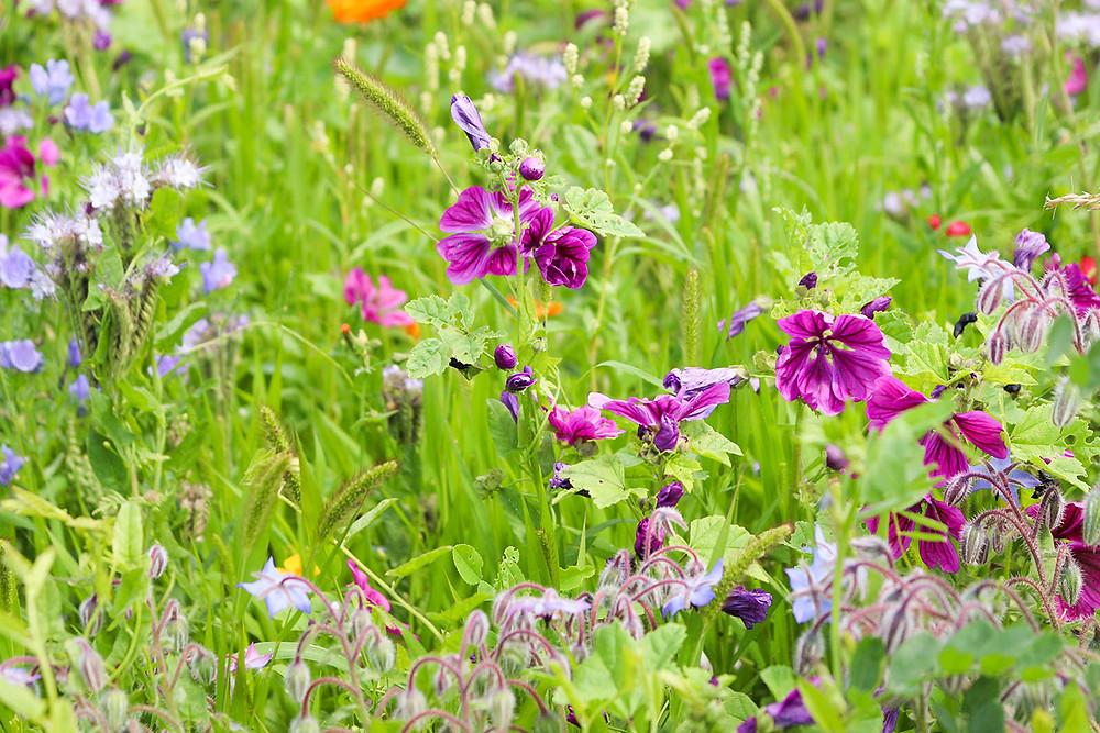 Wildblumen in Lila.