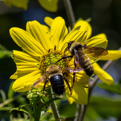 Carpenter Bee and American Bumble Bee