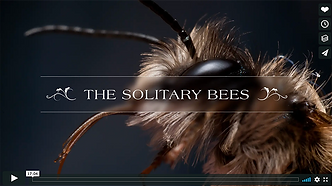 solitary bees.png
