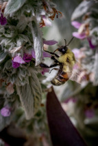 Brown Belted Bumble Bee
