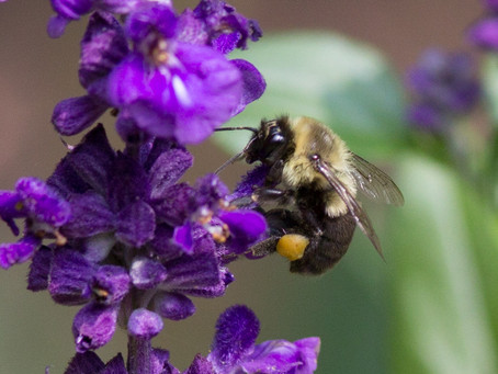 HOW DECATUR HOMEOWNERS CAN HELP NATIVE BEES THRIVE