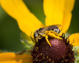 Banded Sweat Bee
