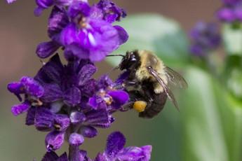 Eastern Bumble Bee