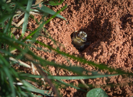 FORGET GROUNDHOGS: GENTLE MINING BEES' ARRIVAL MEANS SPRING IS HERE