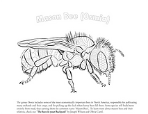 mason bee coloring page.png