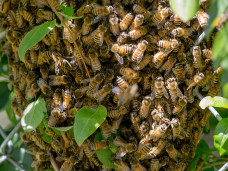 WARMER WEATHER MEANS BEE SWARMS (HERE'S WHAT TO KNOW IF YOU SEE ONE)
